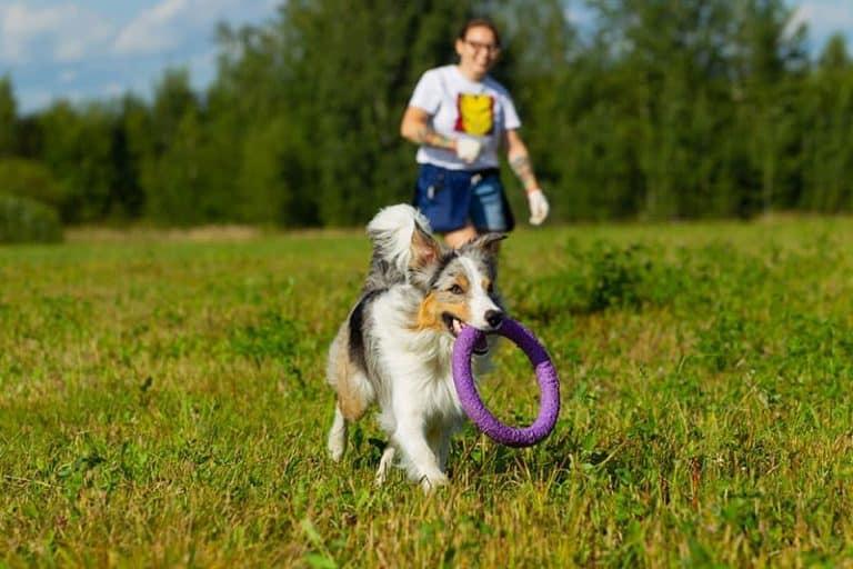 Jak opiekować się Border Collie i jakie są potrzeby tej rasy psów?