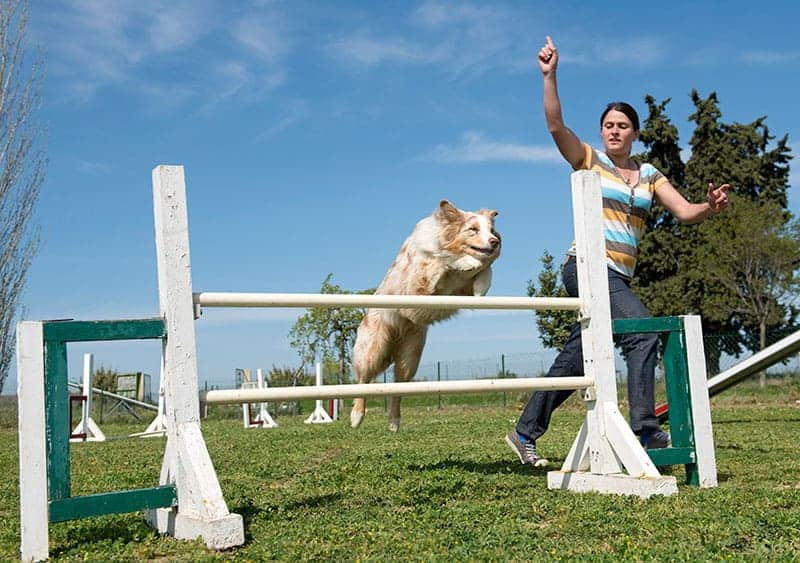 Kiedy zacząć szkolenie border collie