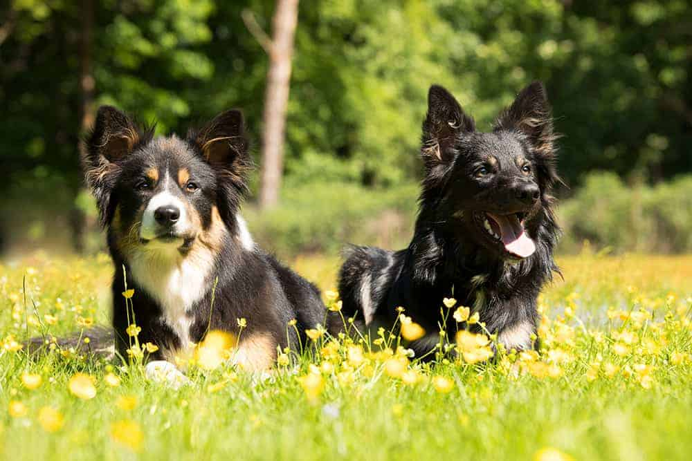 Border collie hodowla