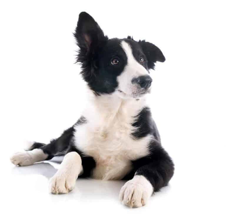 Kiedy Border Collie stają uszy?