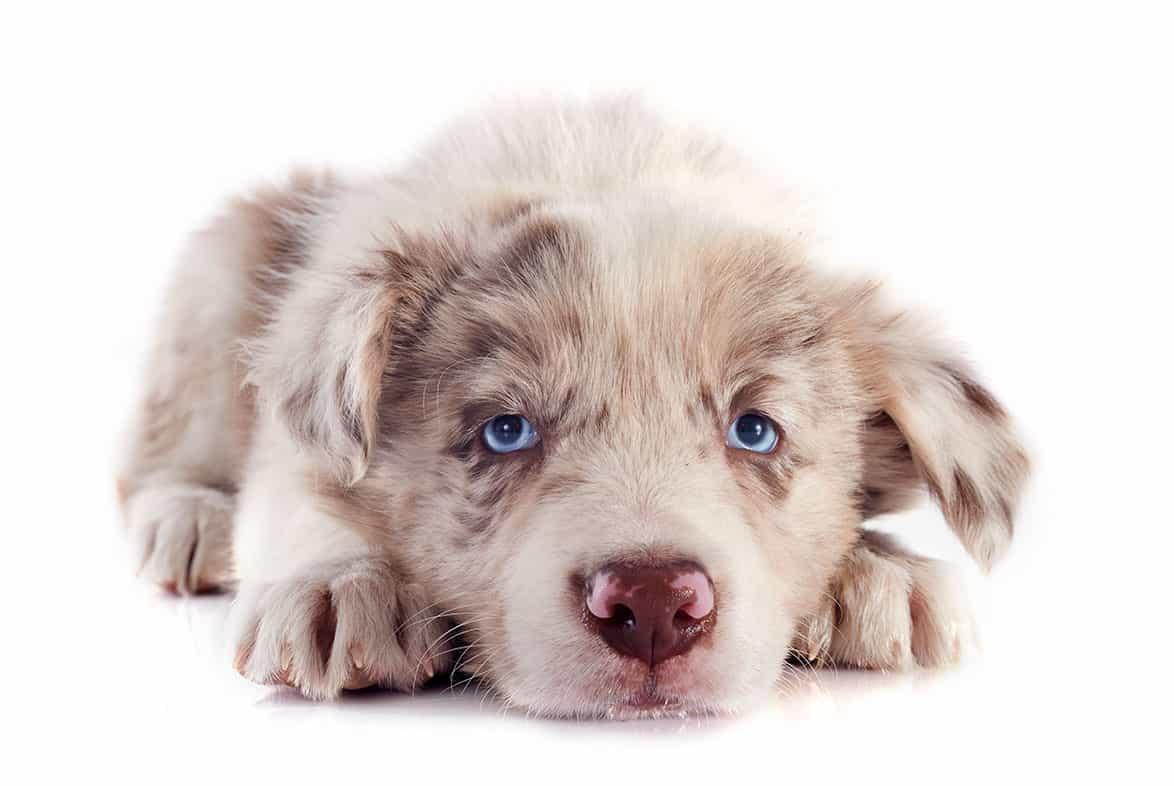 Coraz więcej osób w Polsce zakochuje się w psach rasy border collie