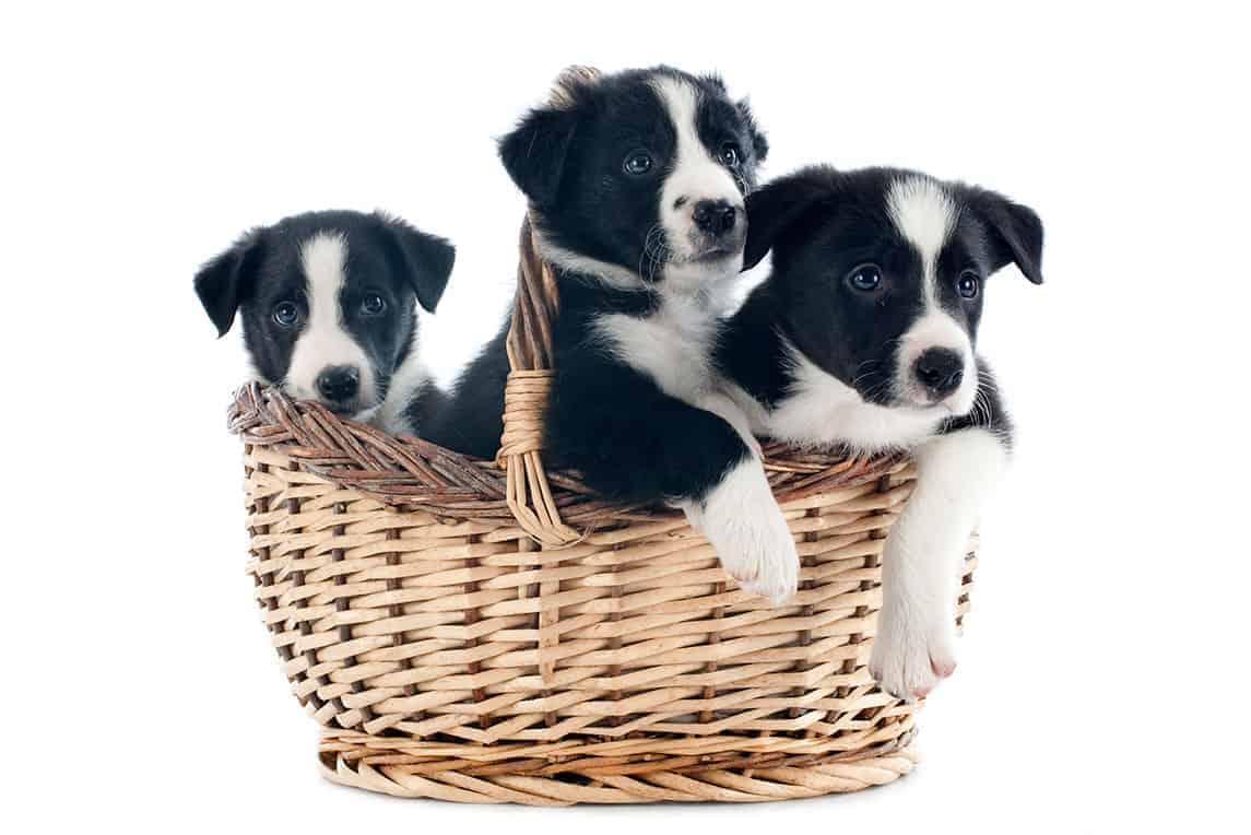 Najlepsza hodowla psów border collie