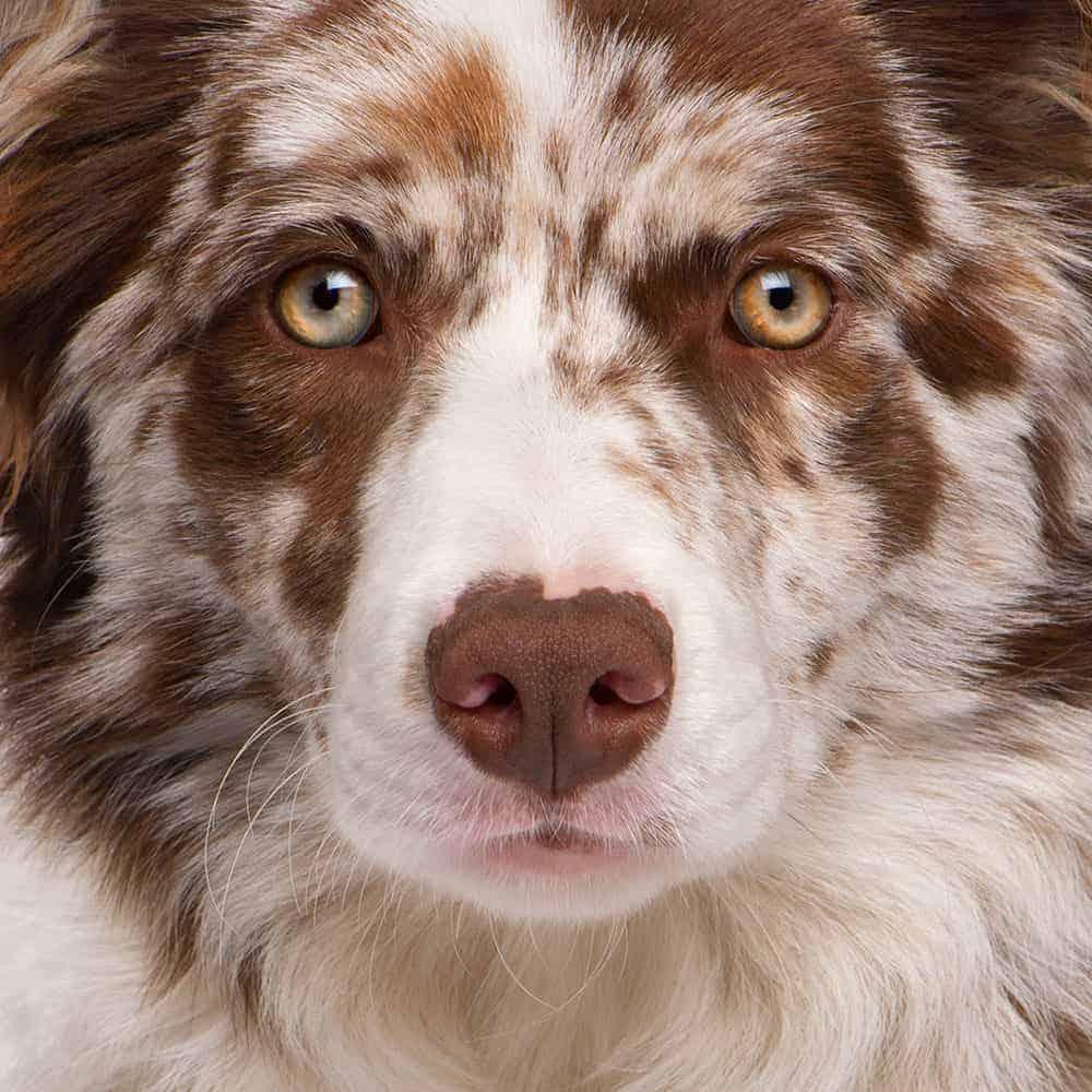 Odrobaczanie psa Border Collie