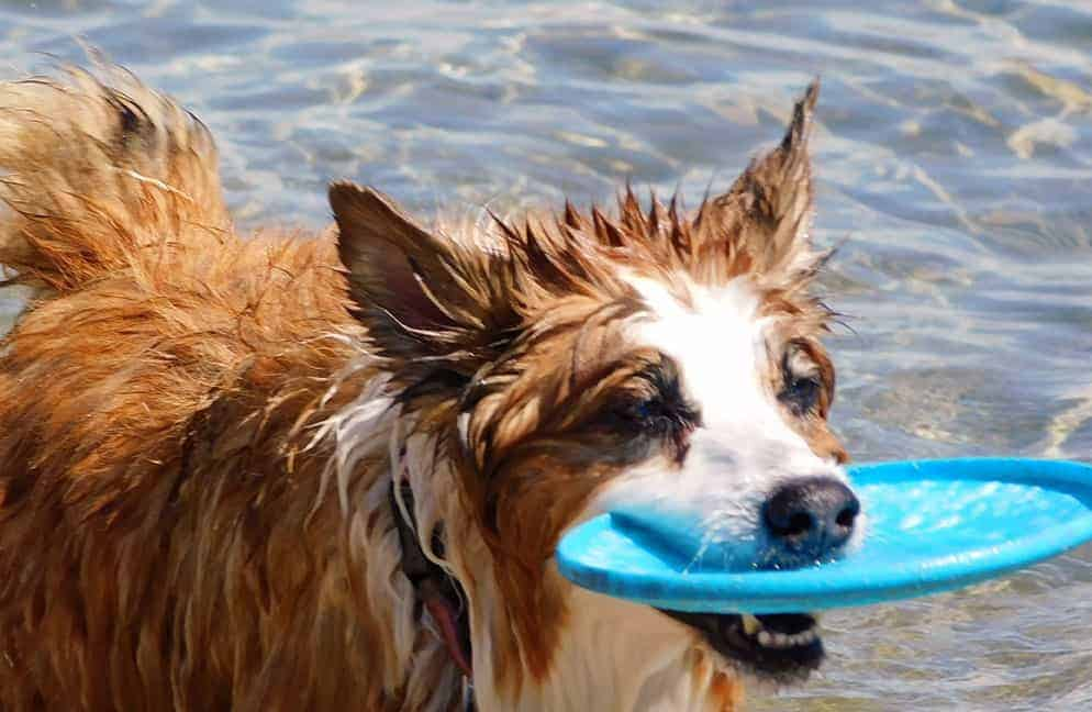 Jaki szampon dla psa border collie?