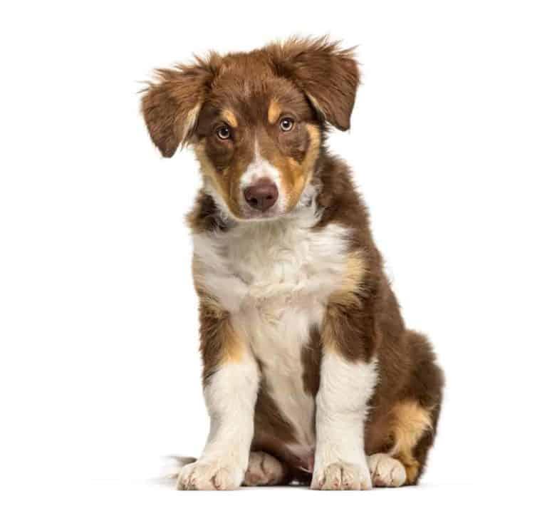 Imiona dla Border Collie, czyli jak nazwać psa, a jak suczkę?