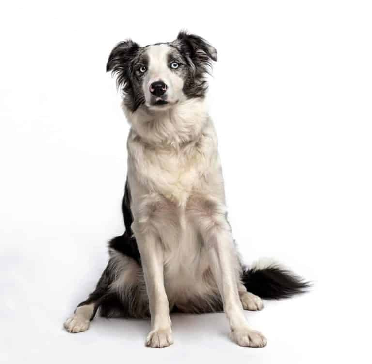 Głuchota wrodzona u border collie