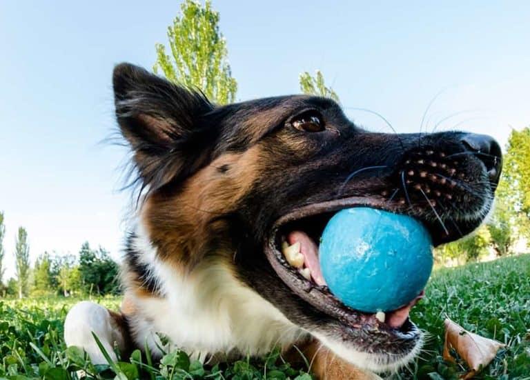 Jak oduczyć psa Border Collie gryzienia?