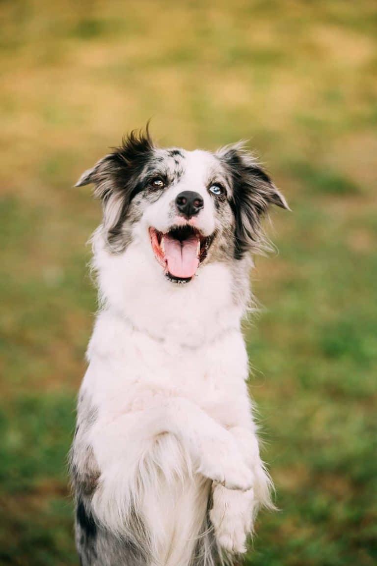 Jak szkolić psa border collie?