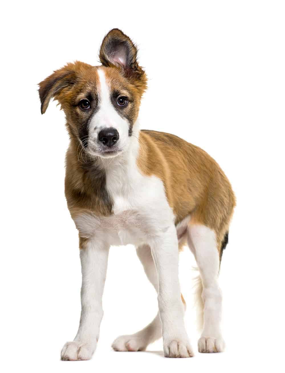 Imię i przydomek psa rasowego
