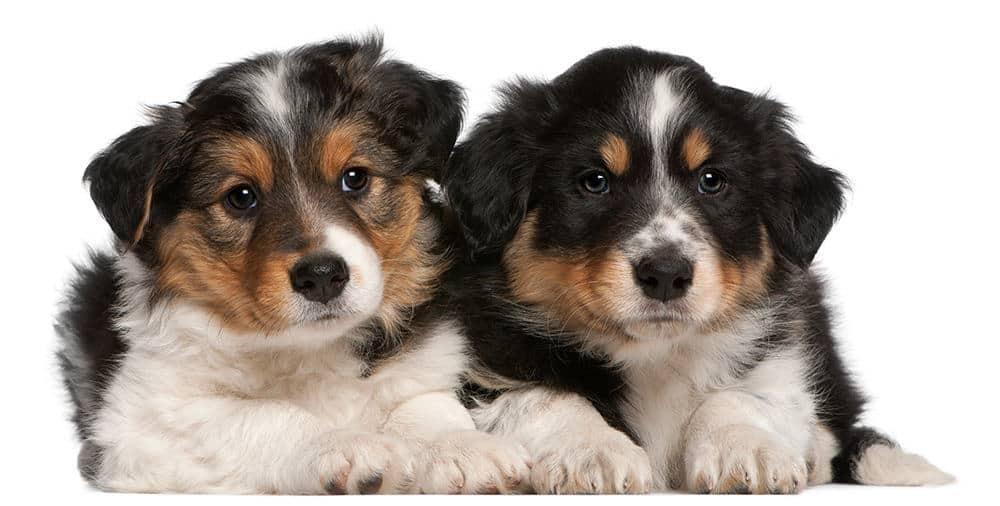 Jaki jest charakter psów rasy border collie?