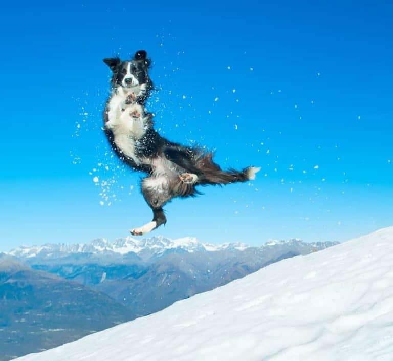 Czy można biegać z psem border collie?