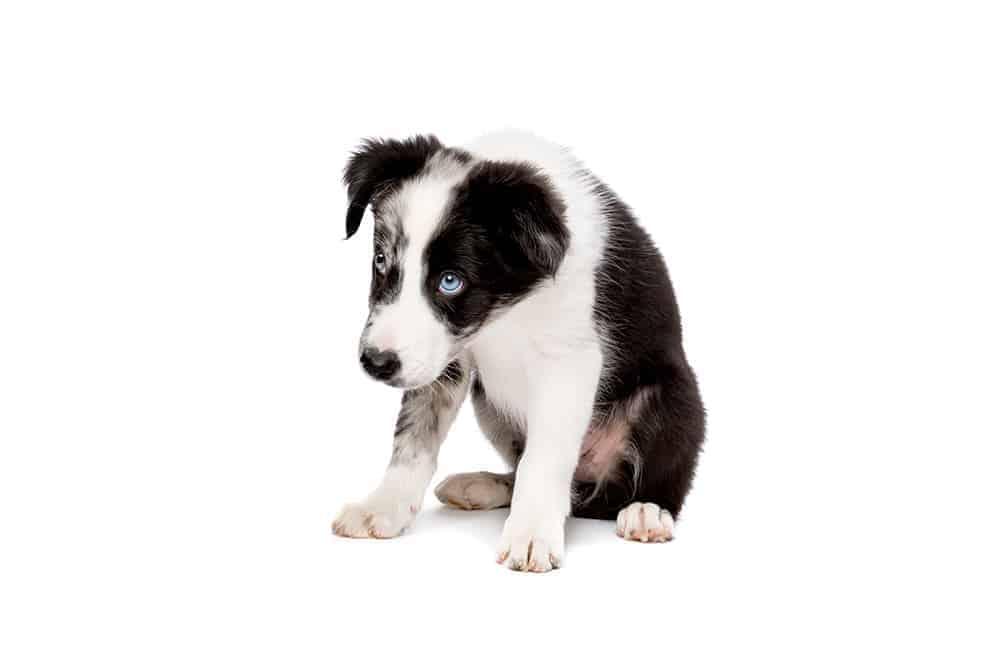 Czy border collie będzie odpowiedni jako pierwszy pies?