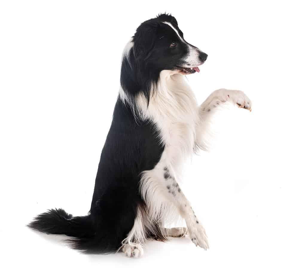 Jak nauczyć psa sztuczek?