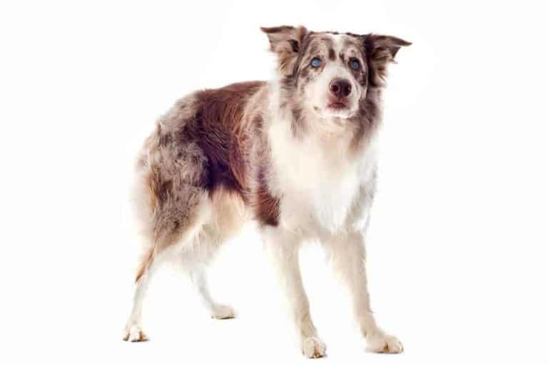 Zaćma u psa border collie: jak ją rozpoznać i leczyć?