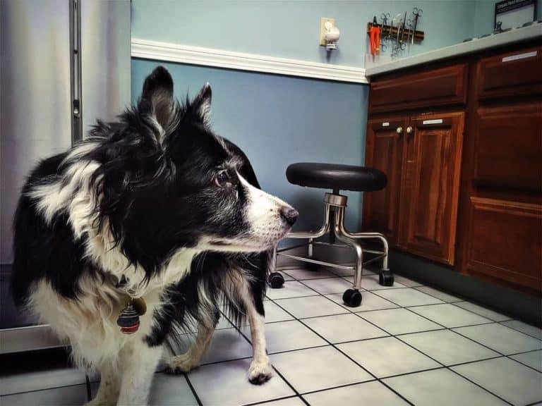 Szczepienie psa border collie: kalendarz szczepień na choroby