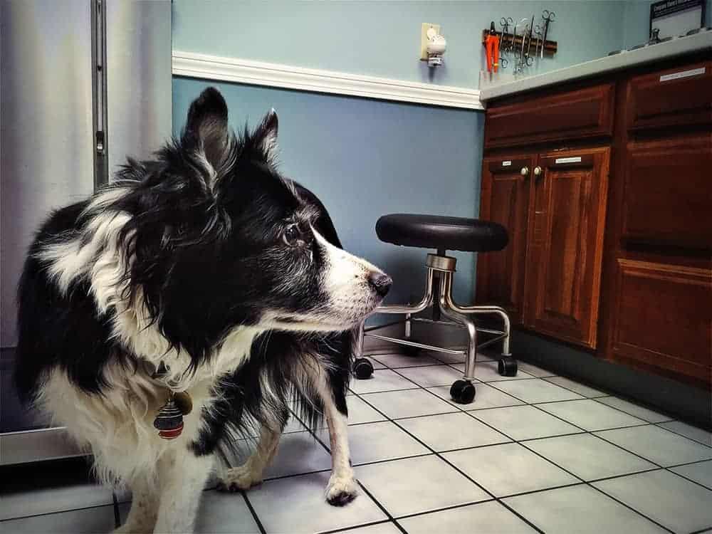 Szczepienie psa border collie