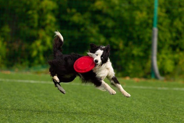 Border collie i frisbee