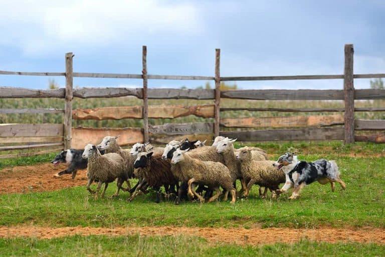 Owczarek australijski a border collie